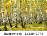 yellow birch forest  late... | Shutterstock . vector #1233842773
