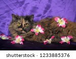 turtle colored persian cat on a ... | Shutterstock . vector #1233885376