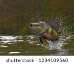 yellow perch fish jumping out... | Shutterstock . vector #1234109560