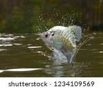 Great pattern of crappie fish in river jumping out 3d render