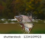Trout Fish Jumping In River...