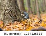 eastern grey squirrel in a... | Shutterstock . vector #1234126813
