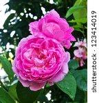 close up pink camellia flower   Shutterstock . vector #123414019