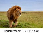 The Most Beautiful Lion Of The...