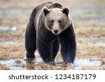 Wild Brown Bear Walking In The...