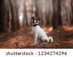 Charming Dog Fox Terrier Breed...