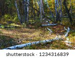 Thick green leafy birch forest...
