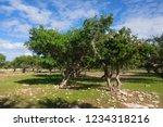 argan trees  sapotaceae ... | Shutterstock . vector #1234318216