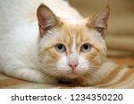 thai cat with blue eyes portrait | Shutterstock . vector #1234350220
