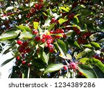Branches With Fruit Of Malus...