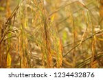 rice paddy fields in thailand.... | Shutterstock . vector #1234432876