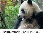 giant panda eating bamboo wild... | Shutterstock . vector #1234448203