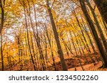 beech forest in autumn   upward ... | Shutterstock . vector #1234502260