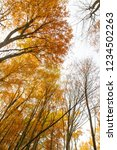 beech forest in autumn   upward ... | Shutterstock . vector #1234502263
