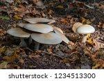 mushrooms between fallen leaves ... | Shutterstock . vector #1234513300