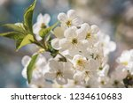 blossoming of cherry flowers in ... | Shutterstock . vector #1234610683