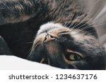 Beautiful Grey Cat