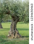 Small photo of Old, knotty olive tree