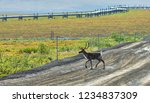 a caribou crosses the dalton... | Shutterstock . vector #1234837309