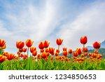 beautiful bouquet of tulips in... | Shutterstock . vector #1234850653