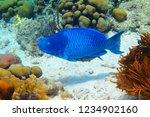 blue parrotfish  scarus... | Shutterstock . vector #1234902160