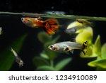 Guppy Multi Colored Fish In A...