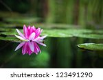 Waterlily In Garden Pond