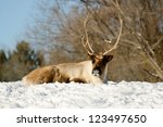 Caribou on the snow - stock photo