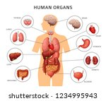 human body internal organs.... | Shutterstock .eps vector #1234995943