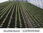 growing up  lettuce lollo... | Shutterstock . vector #1235035360