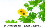 mexican sunflower weed on white ... | Shutterstock . vector #1235053963