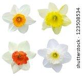 America Daffodil Flowers