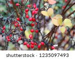 branches of barberry with... | Shutterstock . vector #1235097493
