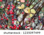 branches of barberry with... | Shutterstock . vector #1235097499