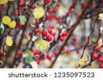 branches of barberry with... | Shutterstock . vector #1235097523
