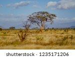 solitary tree landscape in...   Shutterstock . vector #1235171206