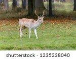male deer in a meadow in... | Shutterstock . vector #1235238040