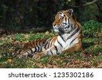 Tiger  Panthera Tigris  In The...