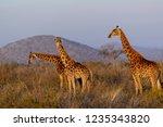 south african giraffe or cape... | Shutterstock . vector #1235343820