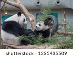 giant panda with the baby at... | Shutterstock . vector #1235435509