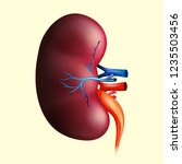 Human Kidney And It\'s Arteries