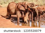 Elephant Family Bathing In Mud