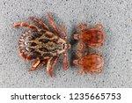 ixodid tick  dermacentor sp. ... | Shutterstock . vector #1235665753