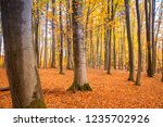 beech forest in autumn | Shutterstock . vector #1235702926