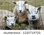 Funny Large And Woolly Sheep I...