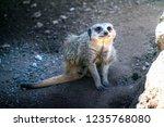 closeup of brown meerkat ...   Shutterstock . vector #1235768080