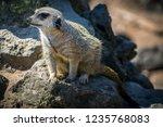 closeup of brown meerkat ...   Shutterstock . vector #1235768083