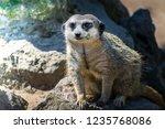 closeup of brown meerkat ...   Shutterstock . vector #1235768086