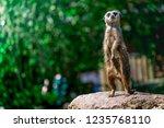 closeup of brown meerkat ...   Shutterstock . vector #1235768110