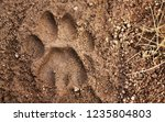 Stock photo mountain lion tracks in the superstition mountains of arizona 1235804803